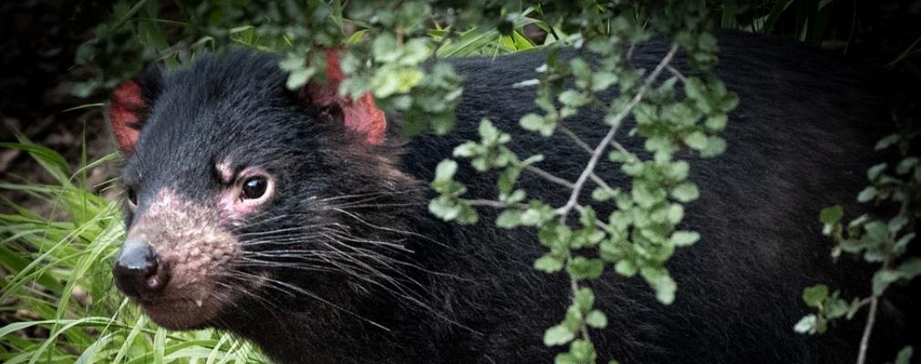 Der Tasmaniache Teufel