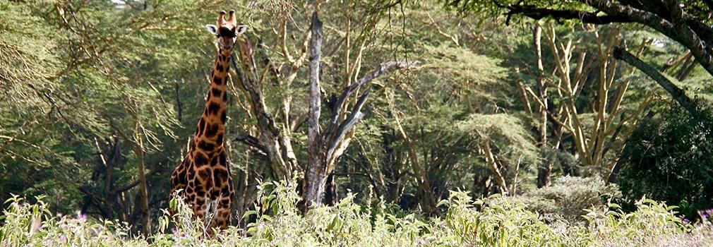 Giraffe bei Lake Nakuru, westlich von Nairobi