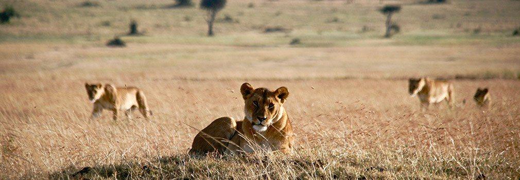 Löwe in der Masai Mara im Südosten Kenias